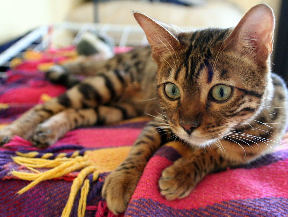 The Bengal cat is one of the top non-shedding cat breeds
