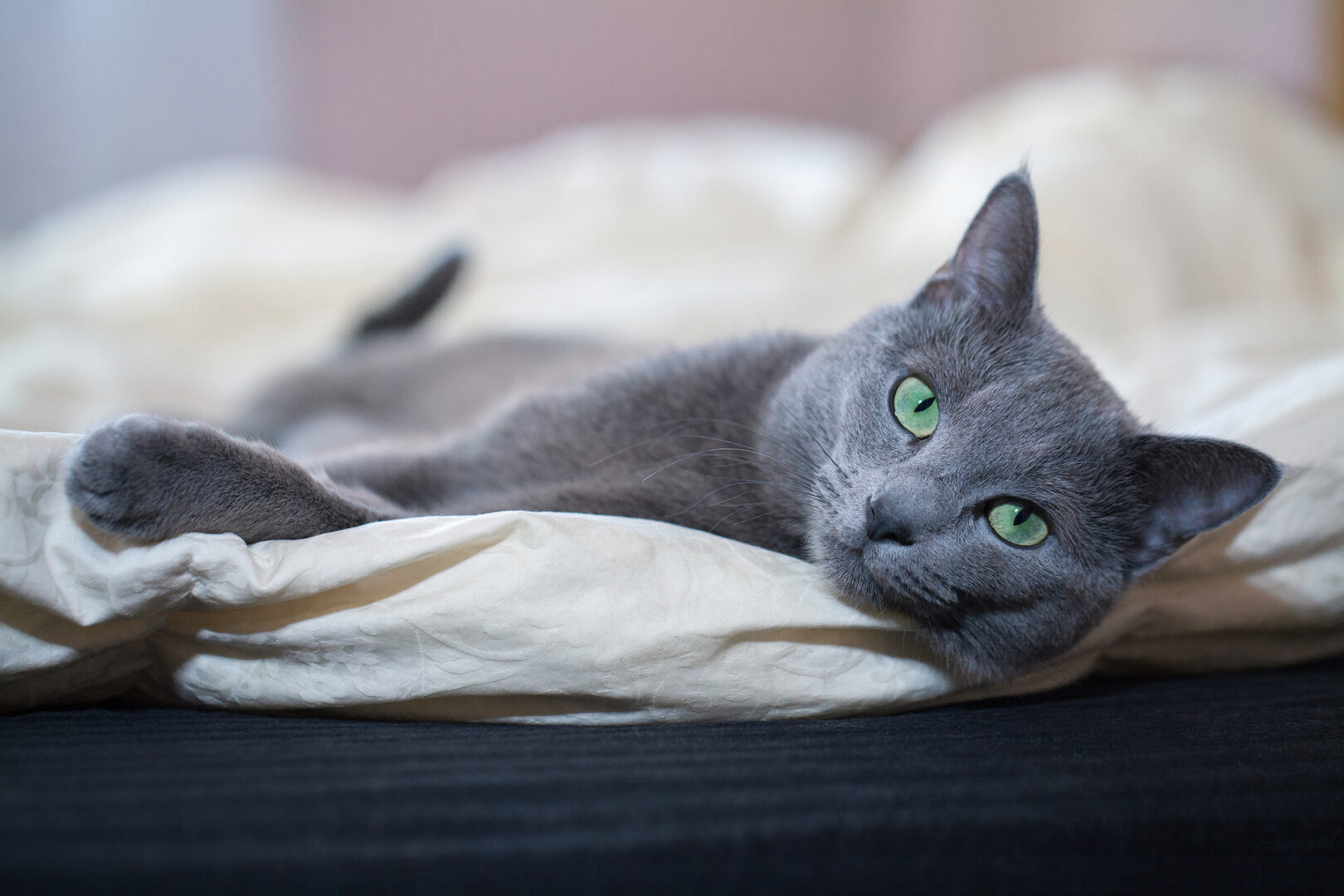 The Russian blue cat is one of the top non-shedding cat breeds