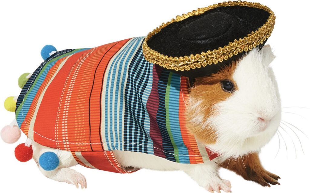 This cool serape and sombrero makes the cutest guinea pig Halloween costume